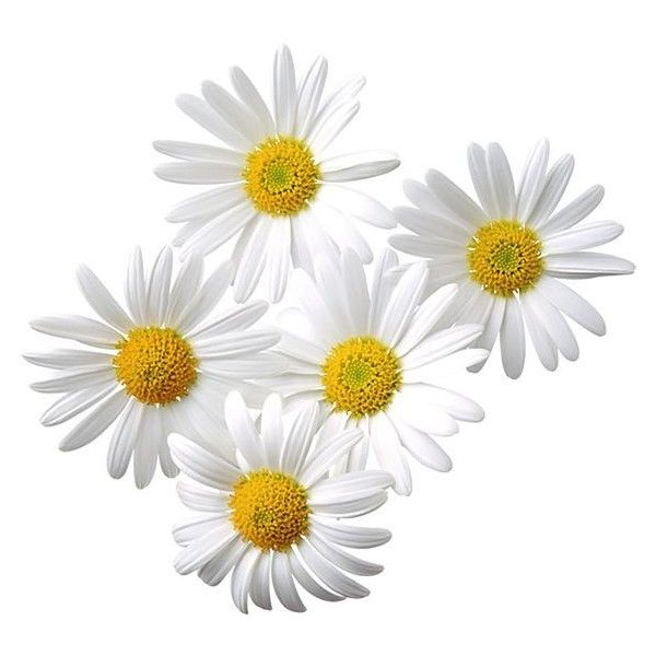 Daisies clipart image free library Transparent Daisies Clipart ❤ liked on Polyvore featuring ... image free library