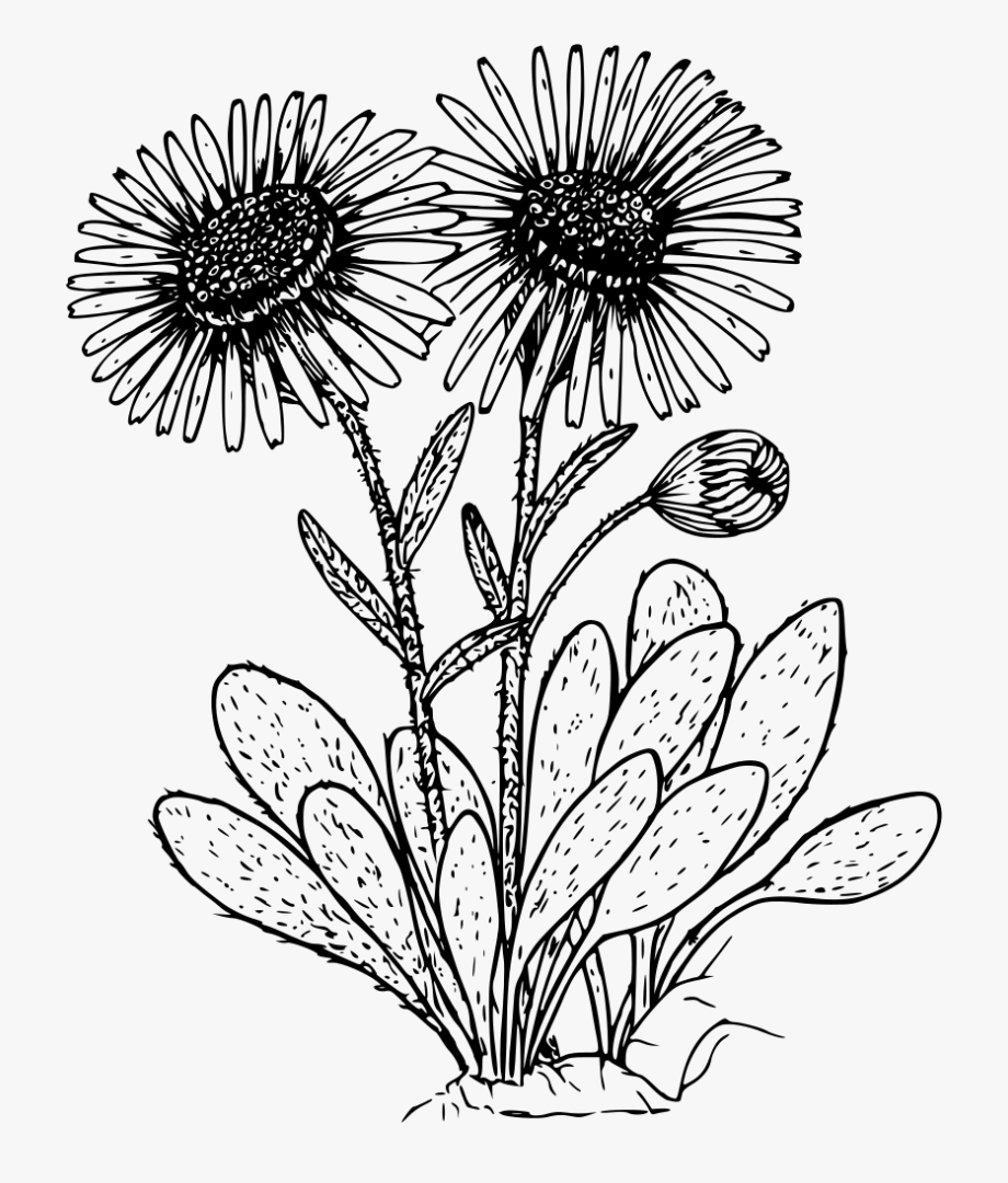 Daisies clipart black and white clip art royalty free library Kern Daisy - Wild Flower Clipart Black And White #62245 - Free ... clip art royalty free library