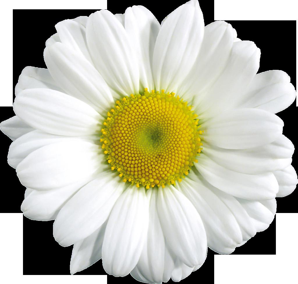 White daisy clipart transparent background picture transparent Free Transparent Daisy Cliparts, Download Free Clip Art ... picture transparent