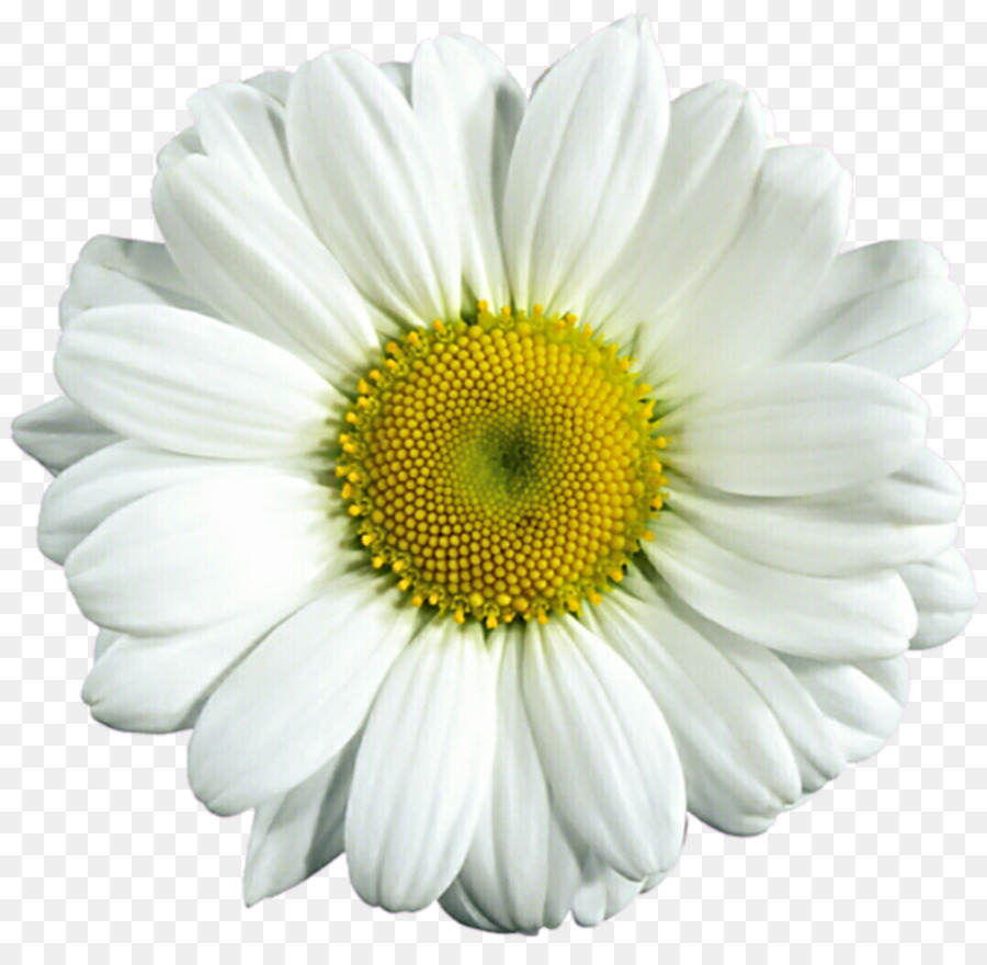 Transparent clipart daisy picture library Flowers Clipart Background clipart - Flower, Daisy, Plant ... picture library