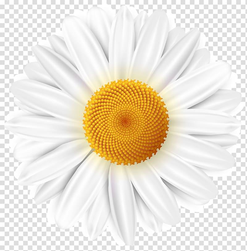 White daisy clipart clip art royalty free White daisy flower , Common daisy , White Daisy transparent ... clip art royalty free