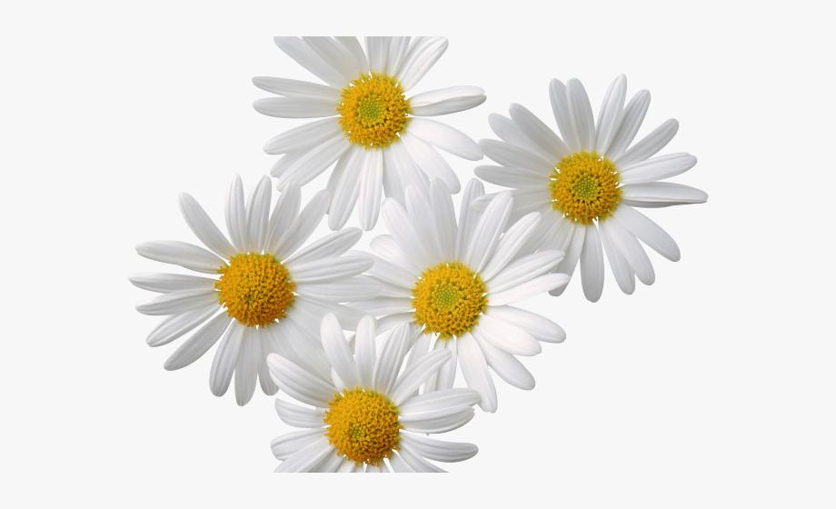 White daisy clipart transparent background svg library library Daisy Clipart Shasta Daisy - Transparent Background Daisy ... svg library library