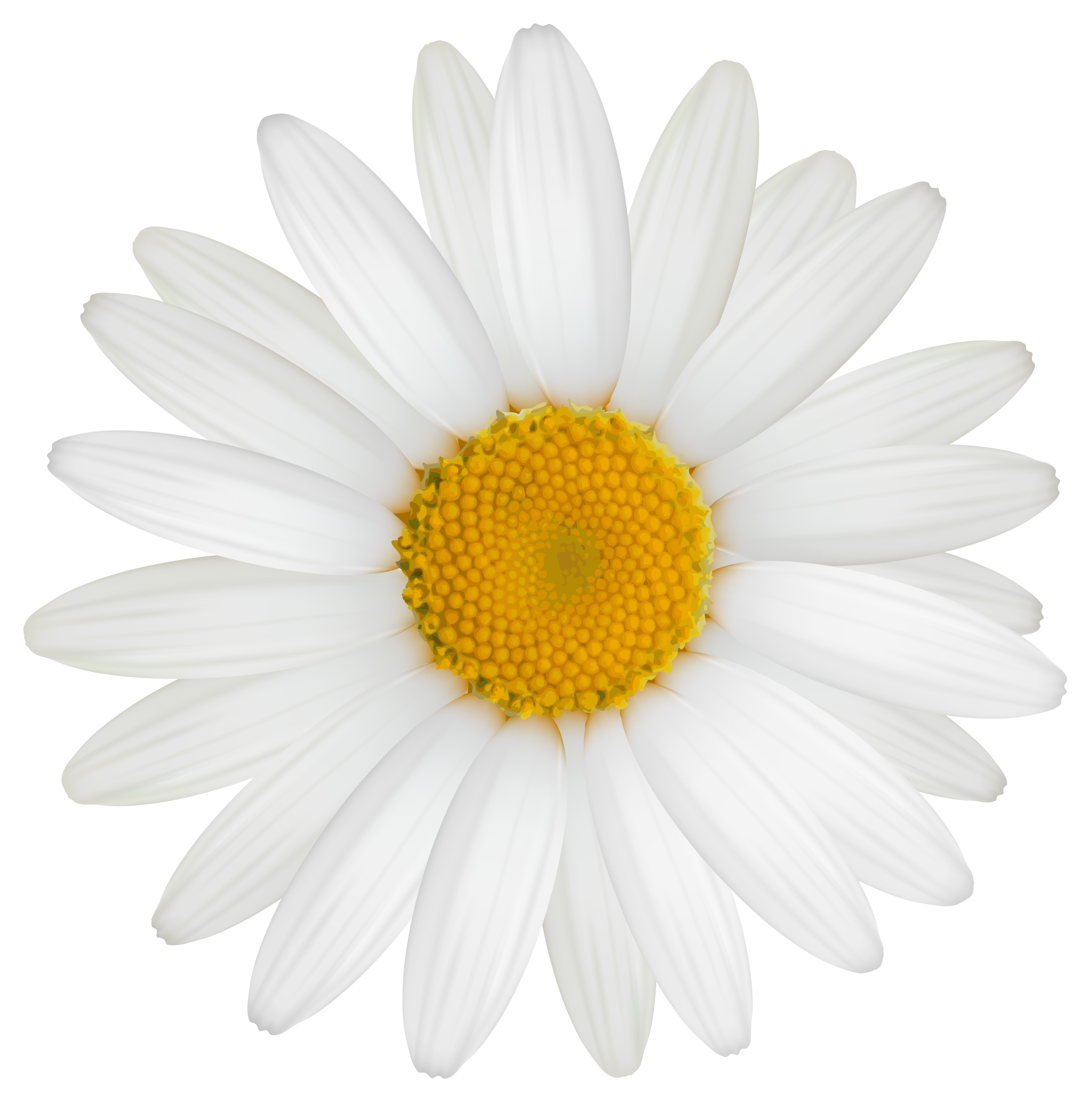 Daisy flower black and white clipart banner library download Daisy PNG Clipart Image | Gallery Yopriceville - High-Quality ... banner library download