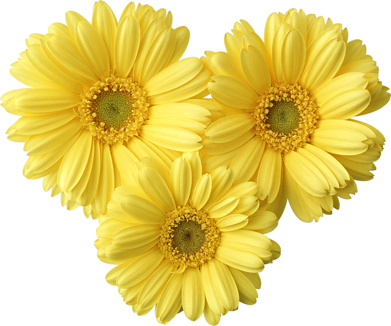 Daisy flower clipart png graphic library download Yellow Gerbers Daisy PNG Picture | Gallery Yopriceville - High ... graphic library download
