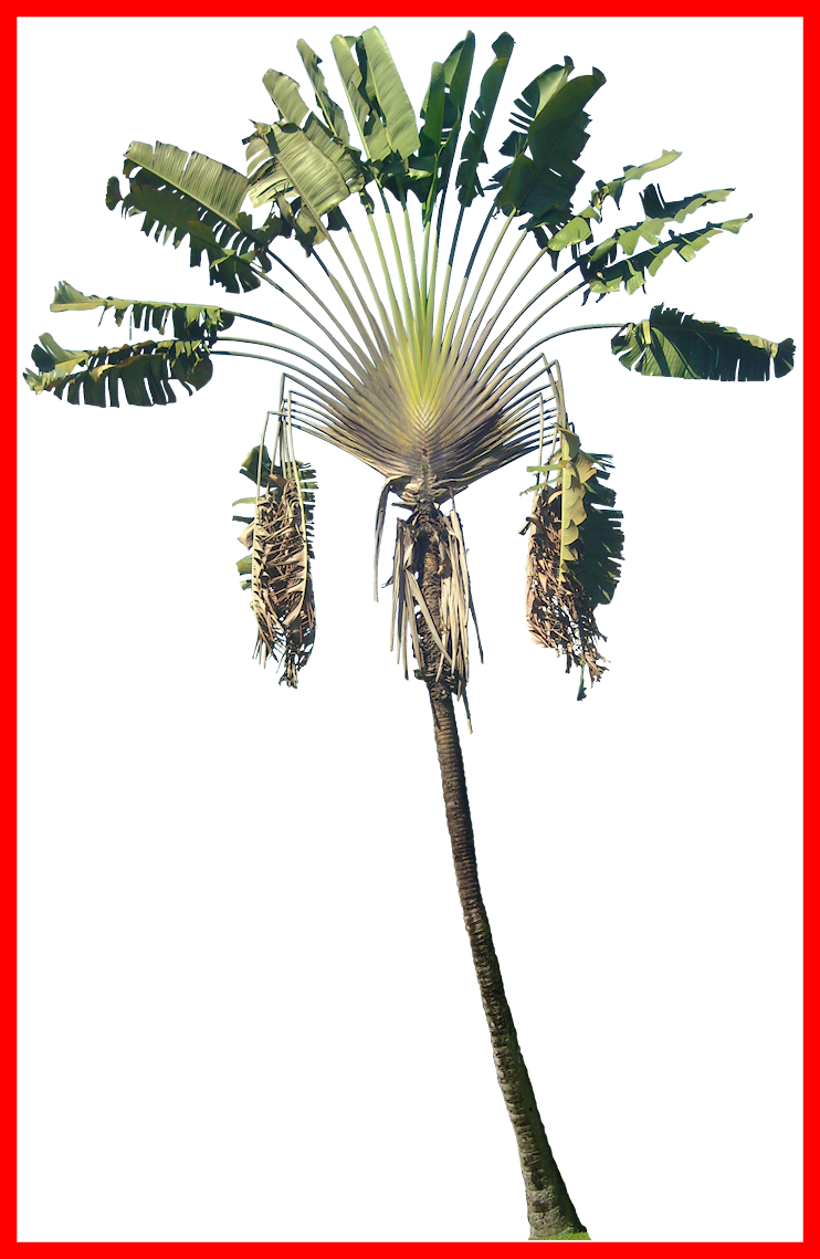 Damaged tree clipart picture royalty free library Incredible Ravenala Png Tree Cut Out Cambodian Plants Image Of ... picture royalty free library