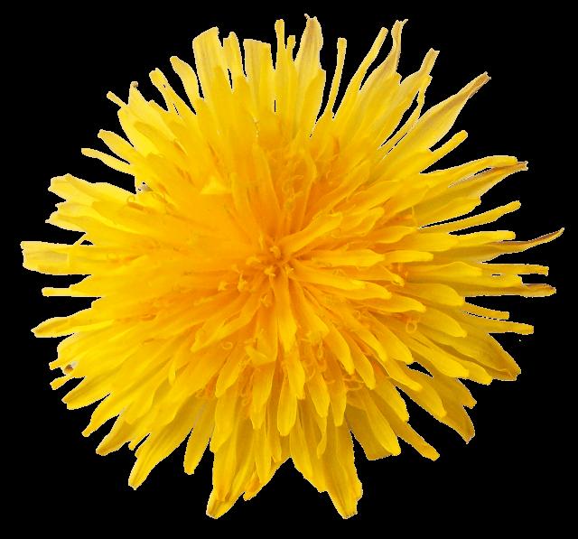 Dandelion flower clipart clipart free download Dandelion Flower transparent PNG - StickPNG clipart free download