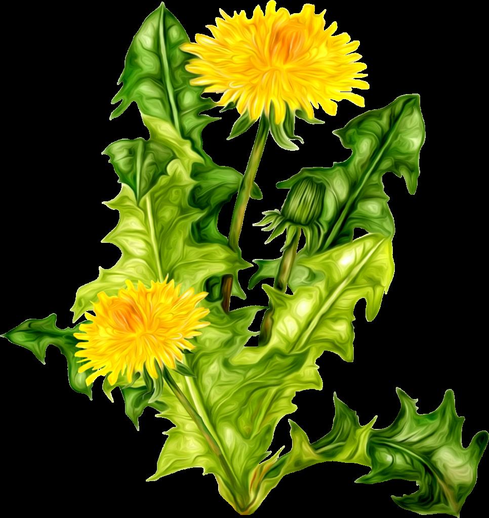 Dandelion flower clipart banner transparent stock Dandelion PNG images free download banner transparent stock