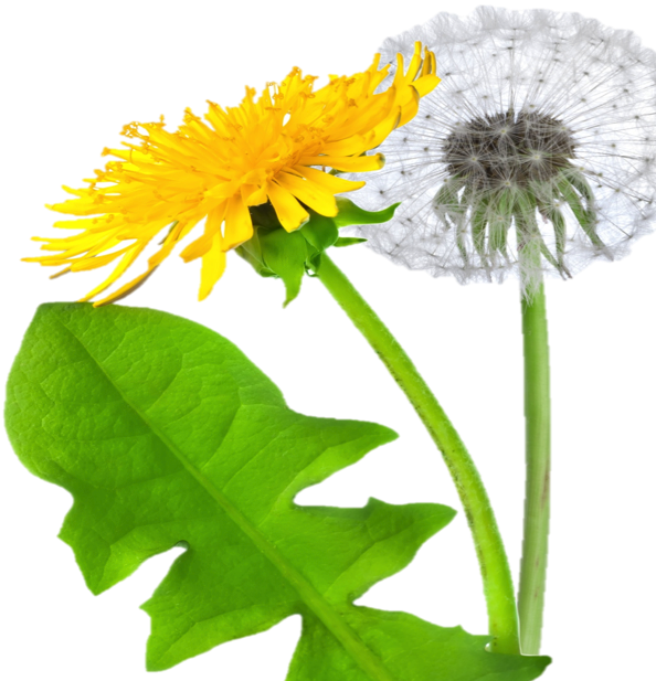 Dandelion flower clipart clip freeuse library Dandelion PNG Image - PurePNG   Free transparent CC0 PNG Image Library clip freeuse library