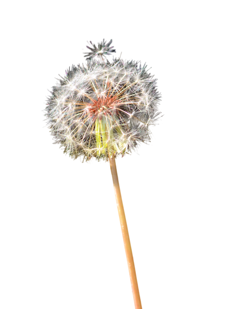 Dandelion flower clipart vector black and white stock Dandelion PNG Stock Photo 0152 by annamae22 on DeviantArt vector black and white stock
