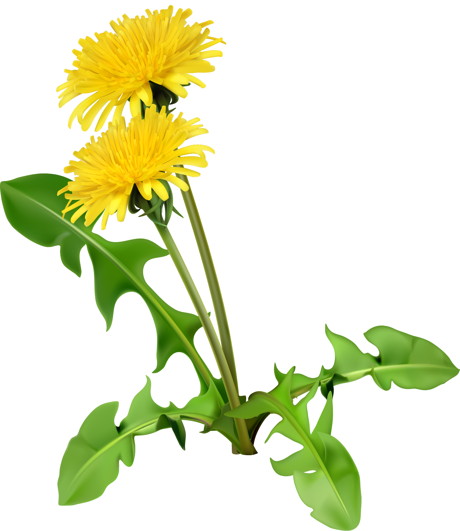 Dandelion flower clipart free library Common Dandelion Dandelion coffee Flower Seed - Cartoon yellow ... free library
