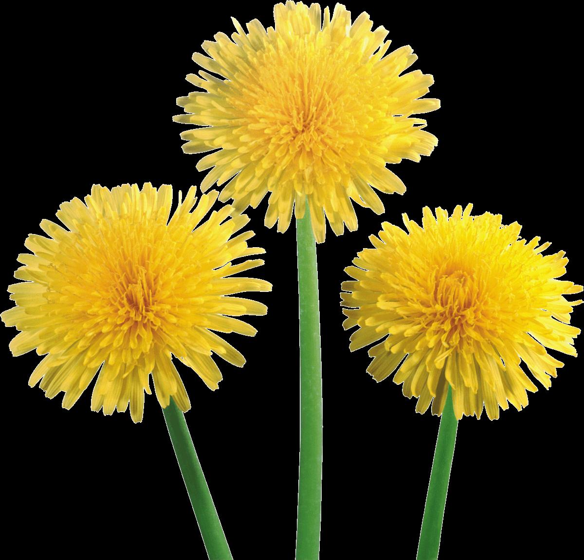 Dandelion flower clipart svg royalty free library Dandelion Trio transparent PNG - StickPNG svg royalty free library