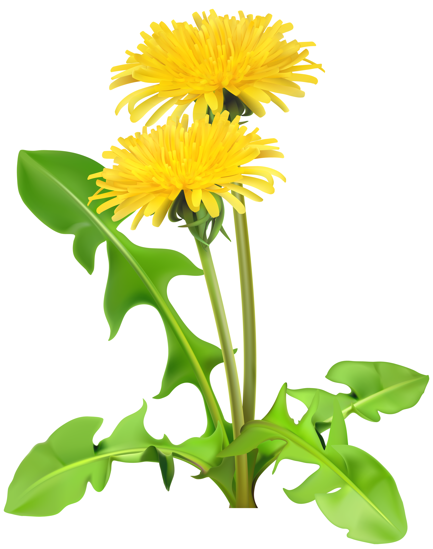 Dandelion flower clipart vector freeuse library Dandelions PNG Transparent Clip Art Image   Gallery Yopriceville ... vector freeuse library
