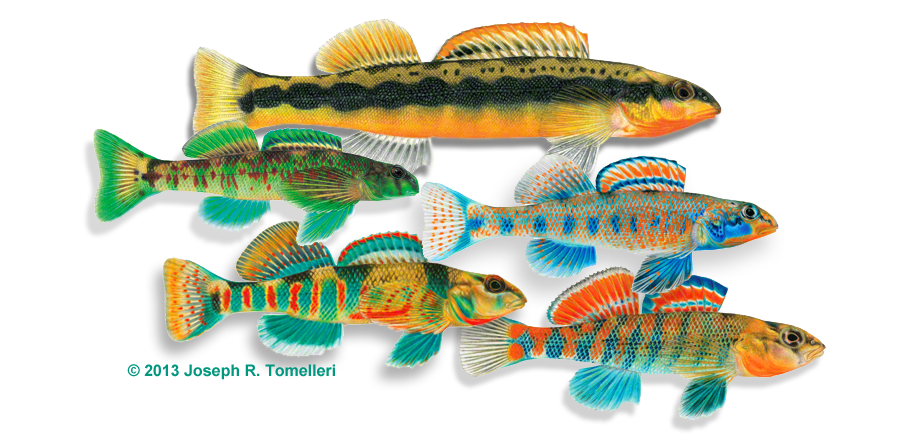 Darter fish clipart clip download Bass fish images - Animal Kid clip download