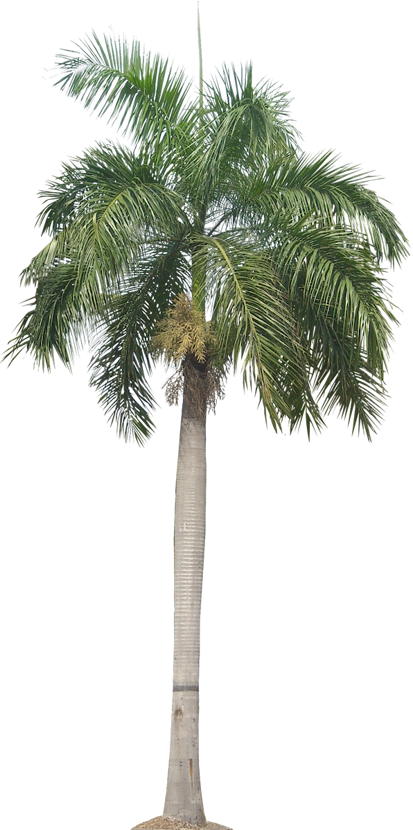 Date palm tree clipart png transparent A Collection of tropical (and subtropical) plant images with ... png transparent
