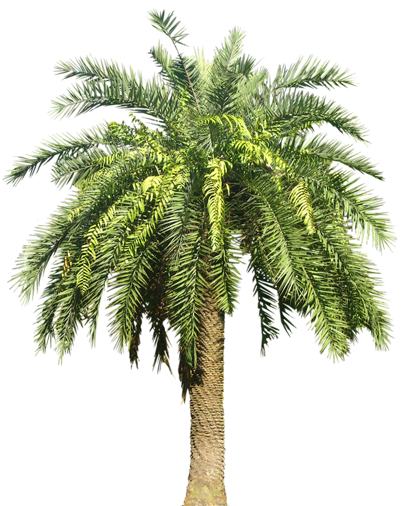 Date palm tree clipart vector transparent library Palm Transparent PNG Pictures - Free Icons and PNG Backgrounds vector transparent library