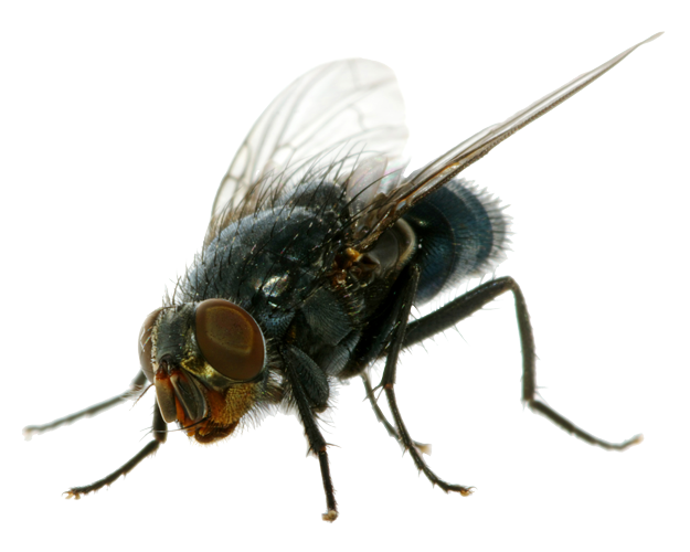 Dead fly clipart clip art freeuse stock Flies clipart dead fly, Flies dead fly Transparent FREE for download ... clip art freeuse stock