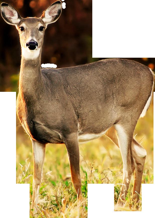 Deer clipart transparent background png library download deer-free-PNG-transparent-background-images-free-download ... png library download