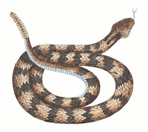 Diamondback clipart image royalty free stock Diamondback snake clipart 1 » Clipart Portal image royalty free stock