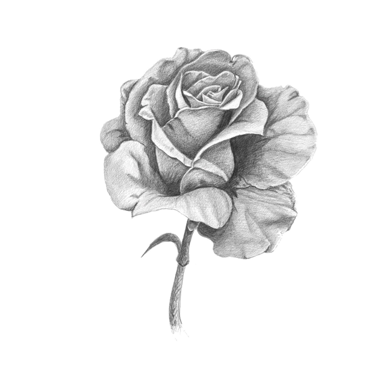 Dibujos de rosas a lapiz banner black and white library Dibujos de rosas a lapiz - ClipartFest banner black and white library