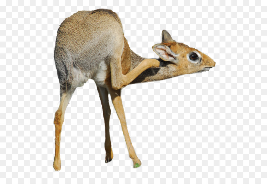 Dikdik clipart graphic library stock Earth Cartoon png download - 960*642 - Free Transparent Antelope png ... graphic library stock