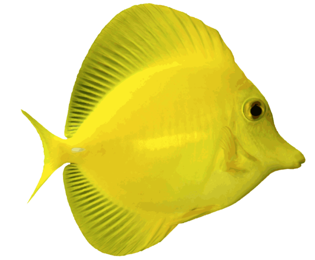 Discus fish clipart graphic royalty free stock 28+ Collection of Discus Fish Clipart | High quality, free cliparts ... graphic royalty free stock