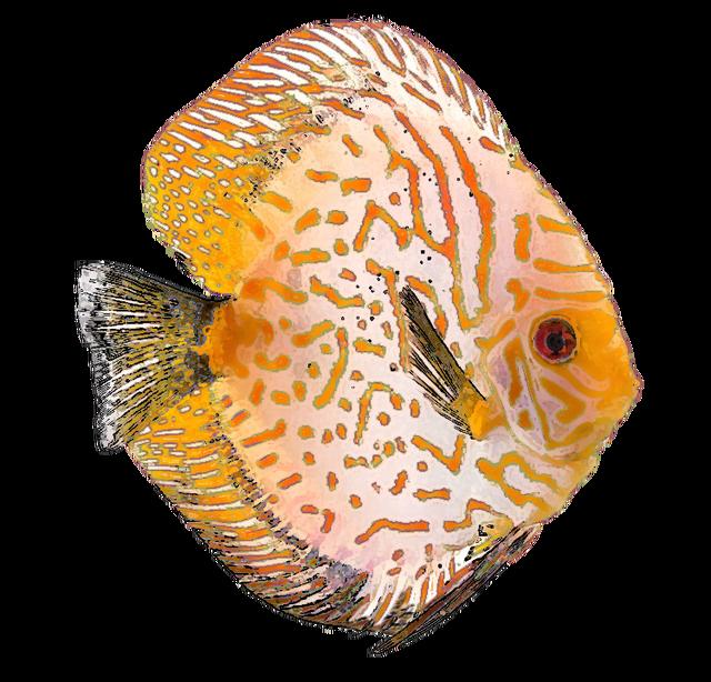 Discus fish clipart vector download Hal · gyűjtemény · természet · tenger · művészet · buborékok ... vector download