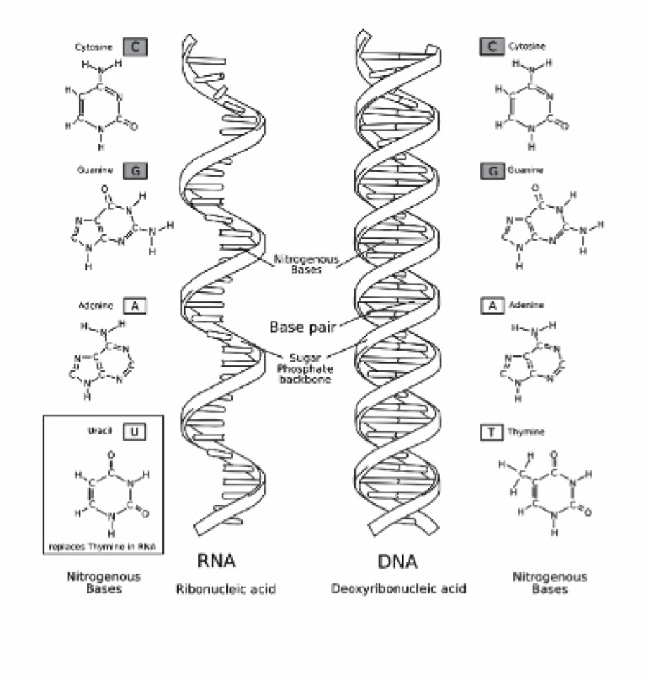 Dna and rna clipart graphic black and white download Dna And Rna - Dna Rna Free PNG Images & Clipart Download #1657327 ... graphic black and white download