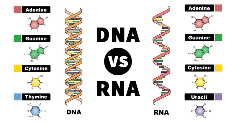 Dna and rna clipart clipart library library Differences between DNA and RNA | Difference Between | Microbiology ... clipart library library