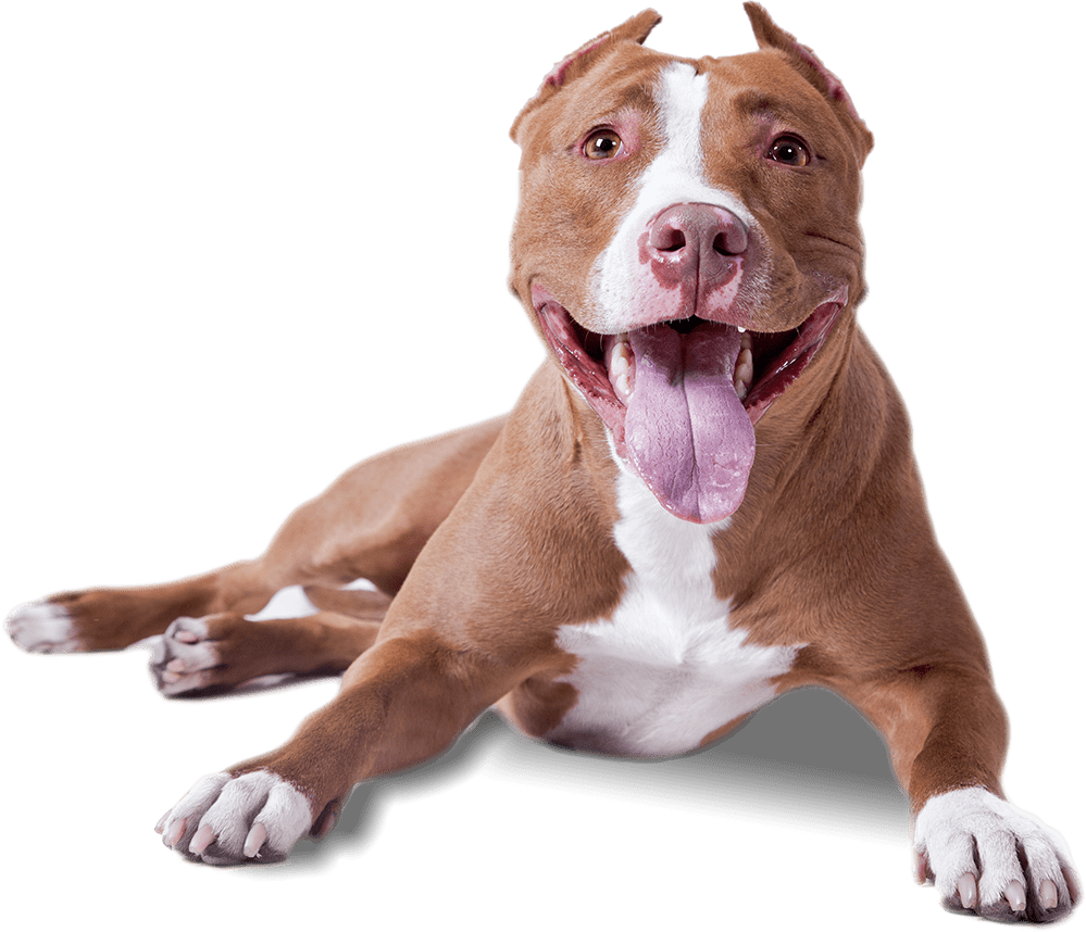 Dog clipart transparent graphic freeuse library Pitbull Looking At You transparent PNG - StickPNG graphic freeuse library
