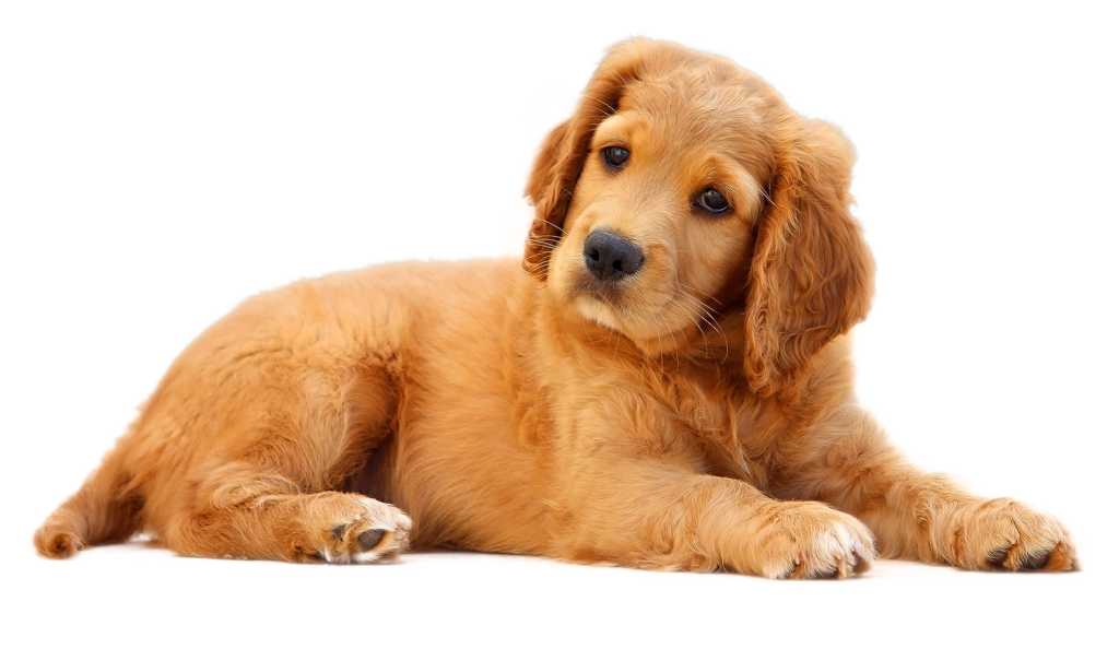 Dog laying down clipart svg freeuse Puppies Galore & More Jacksonville, Florida - Meet Your New Best Friend svg freeuse