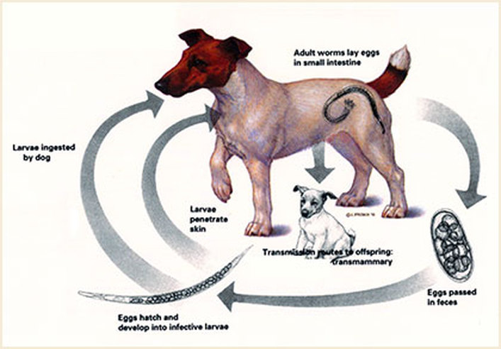 Dog life cycle clipart graphic freeuse Dog Life Cycle image tips graphic freeuse