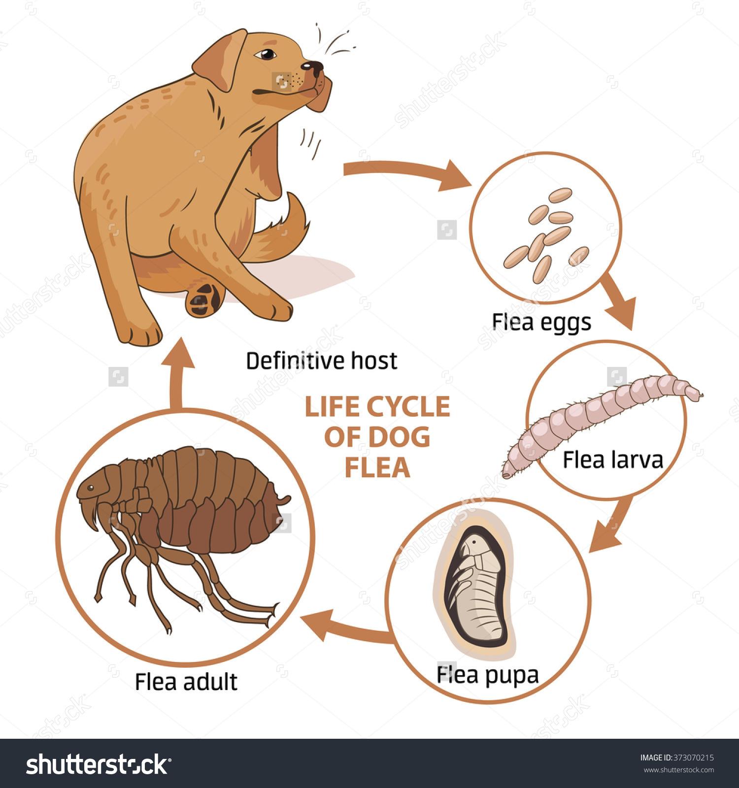 Dog life cycle clipart svg free stock Life Cycle Dog Flea Vector Illustration Stock Vector 373070215 ... svg free stock