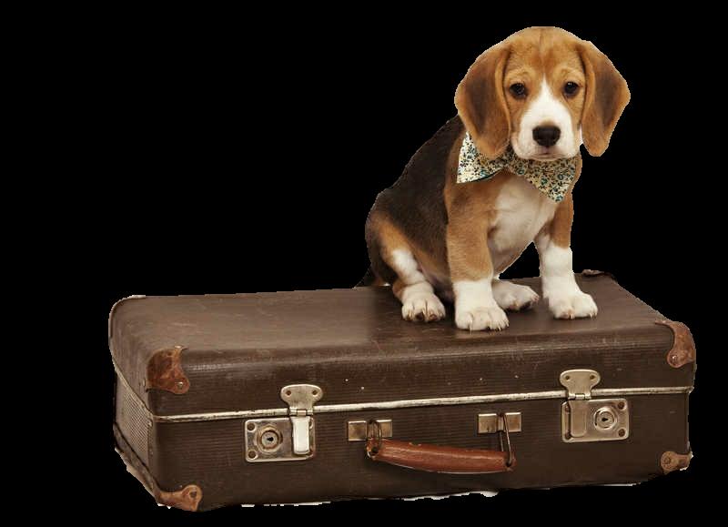 Dog with suitcase clipart. Beagle puppy travel doggo
