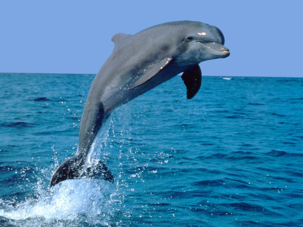 Dolphin clipart real jpg freeuse download Dolphin clipart real - ClipartFest jpg freeuse download