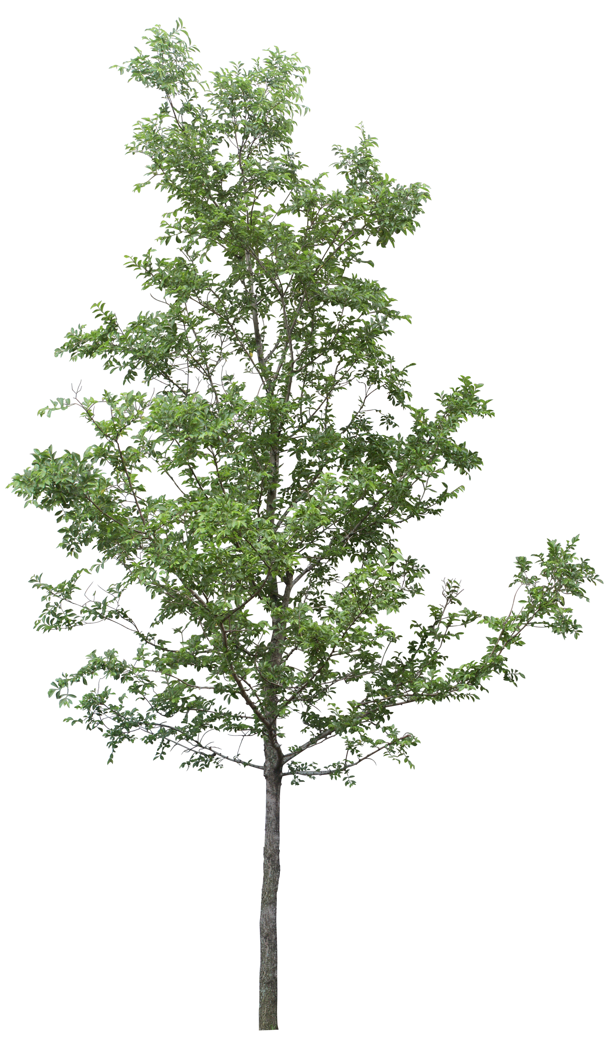 Dot tree dot tree clipart image library library Tree DOT - tree png image png download - 2037*3500 - Free ... image library library