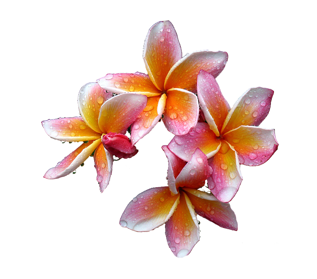 Free download flowers images vector freeuse Plumeria Flowers Png Free Download vector freeuse