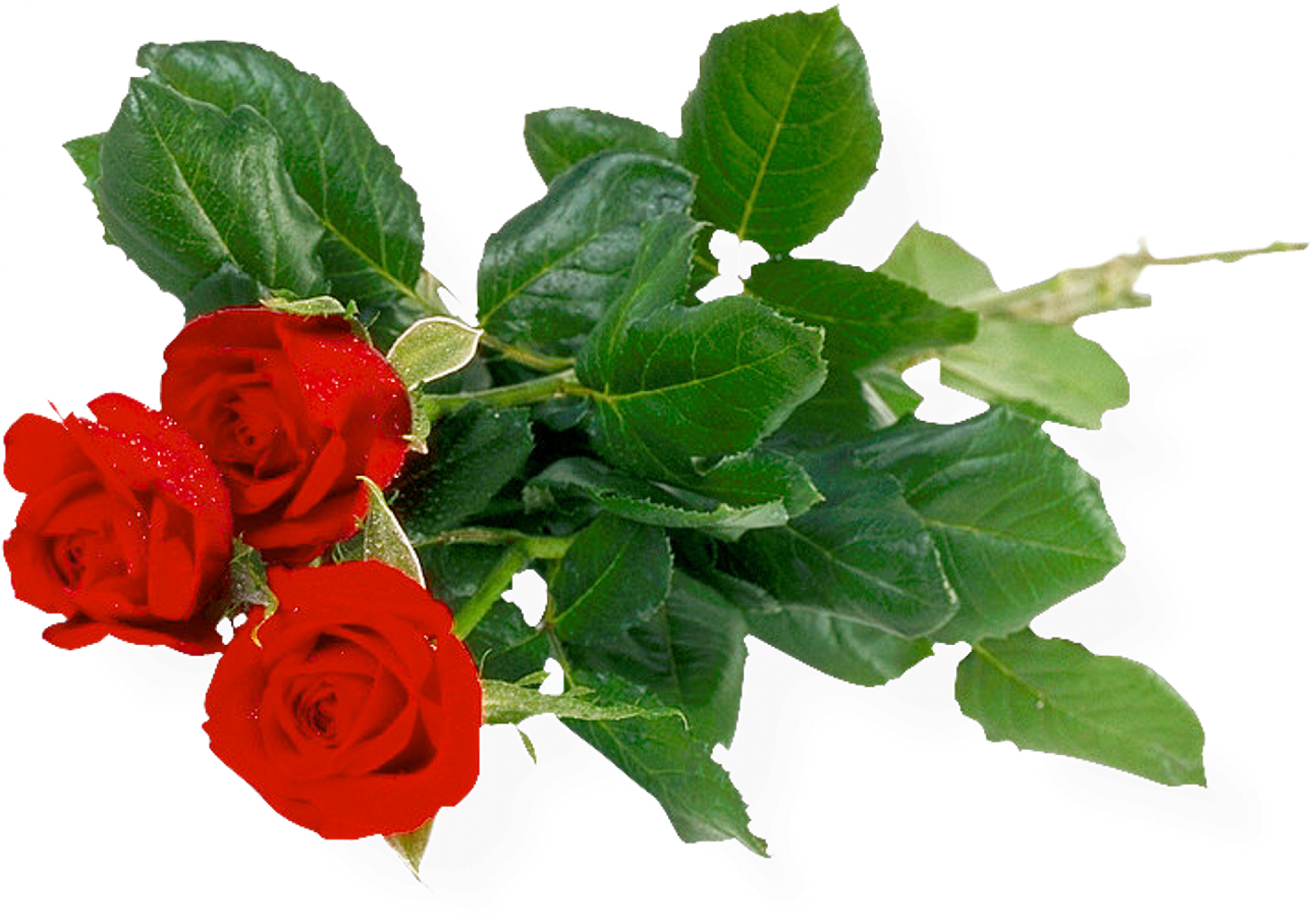 Download free flowers pictures jpg Rose PNG flower images, free download jpg