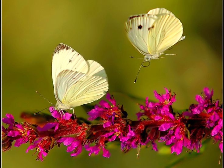 Download images of flowers and butterflies free stock 17 Best images about DRAGONFLYS/ FIREFLYS/ BUTTERFLYS on Pinterest ... free stock