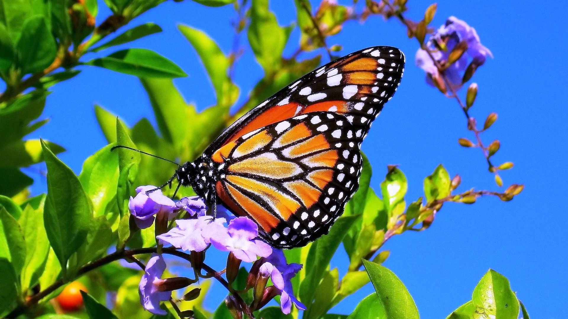 Flowers and Butterflies Spring Wallpapers - HD Wallpapers Pop clip freeuse download