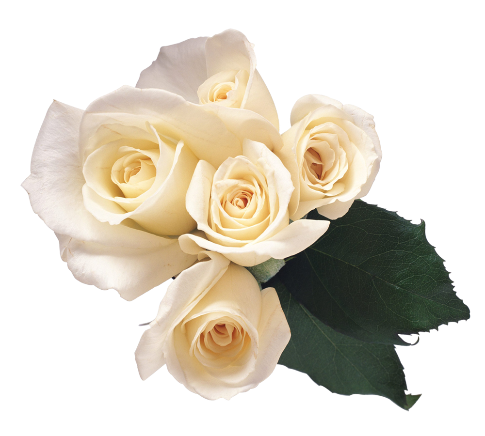 Downloadable images of flowers clip free stock White Rose Twelve | Isolated Stock Photo by noBACKS.com clip free stock
