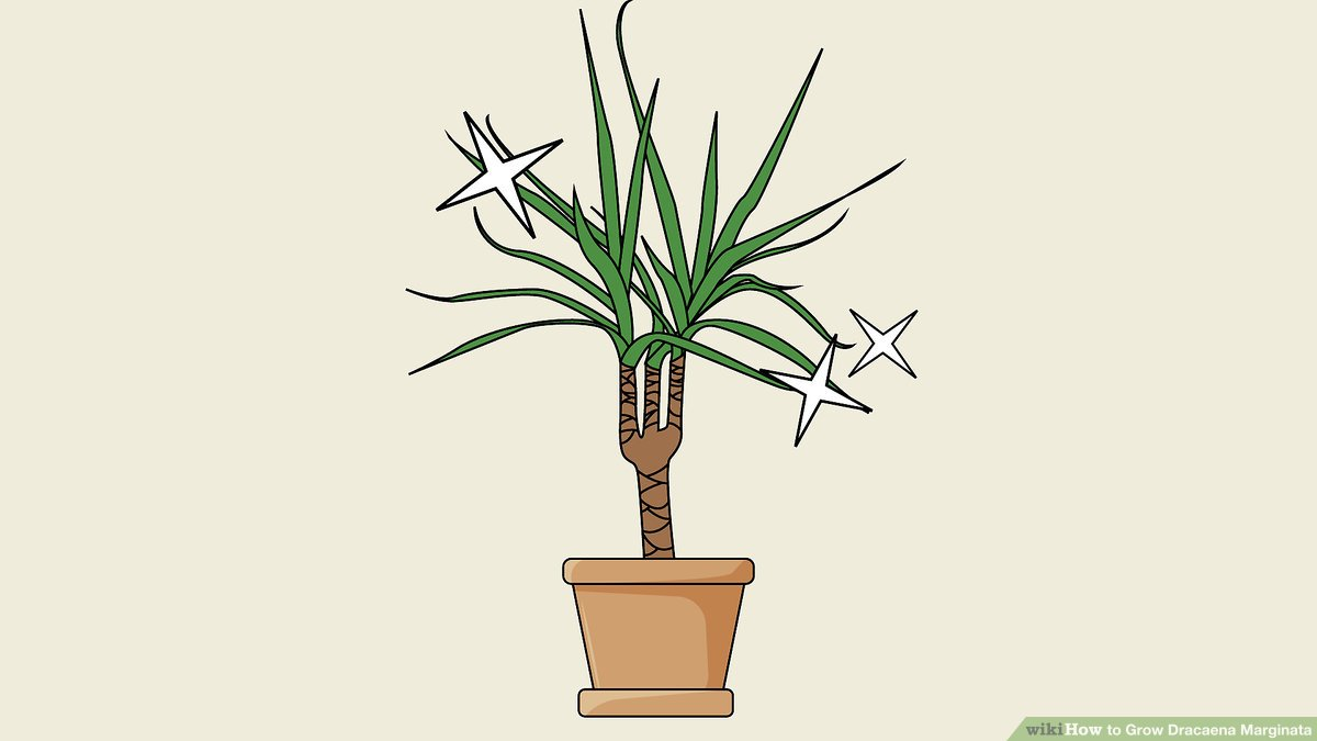 Dracaena draco clipart png freeuse download 3 Ways to Grow Dracaena Marginata - wikiHow png freeuse download