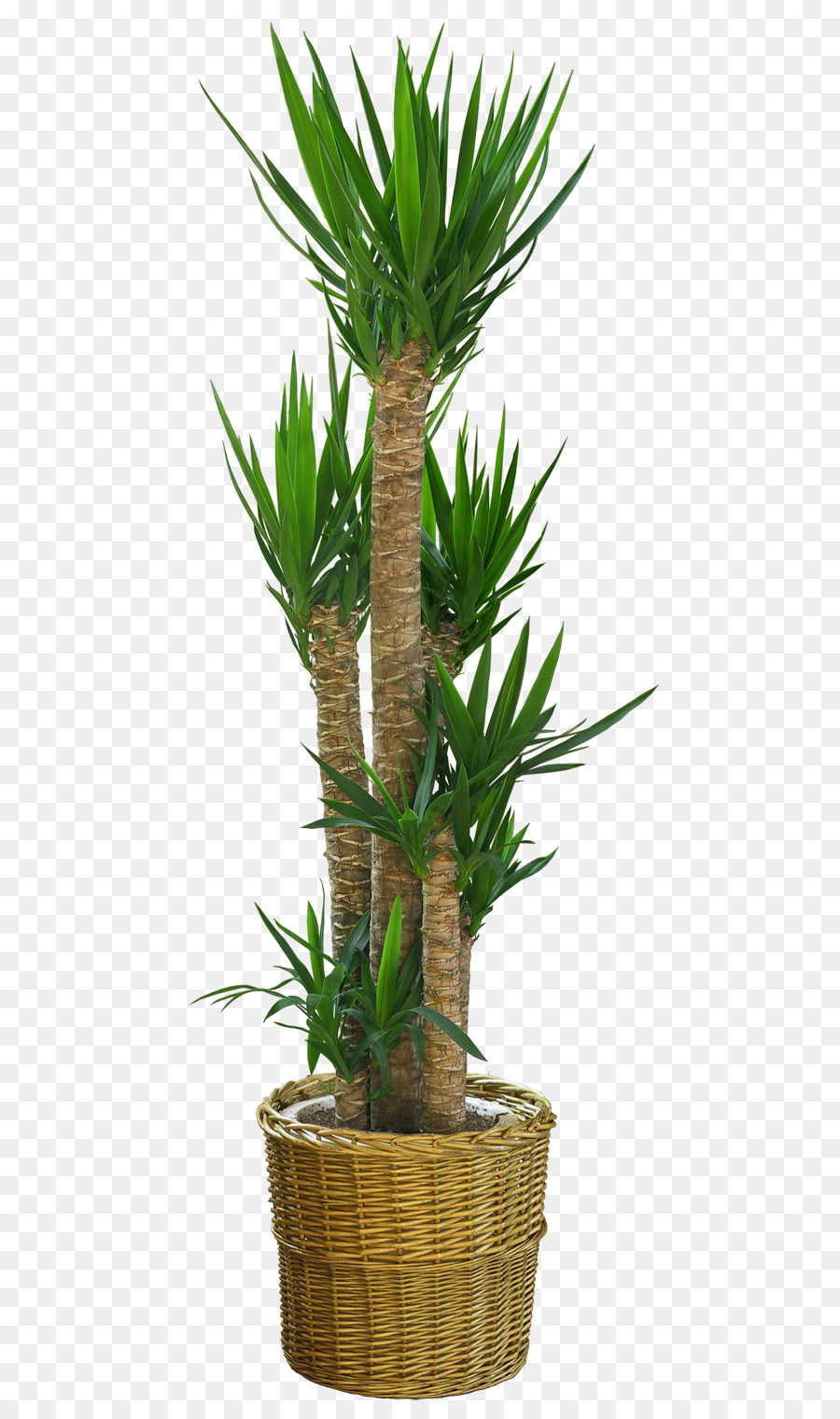 Dracaena draco clipart banner transparent Palm Tree Background png download - 600*1520 - Free Transparent ... banner transparent