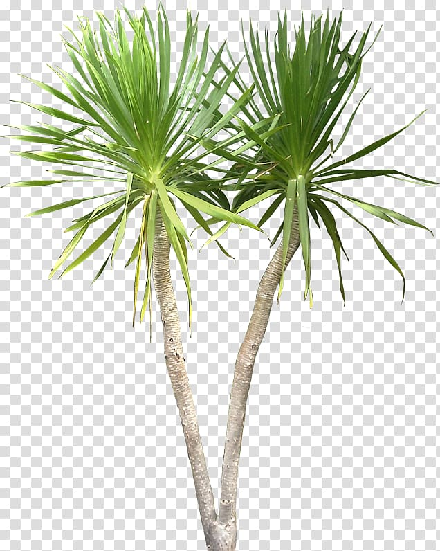 Dracaena draco clipart clip art royalty free download Palm plants, Dracaena draco Plant Tree Tropics, tropical transparent ... clip art royalty free download