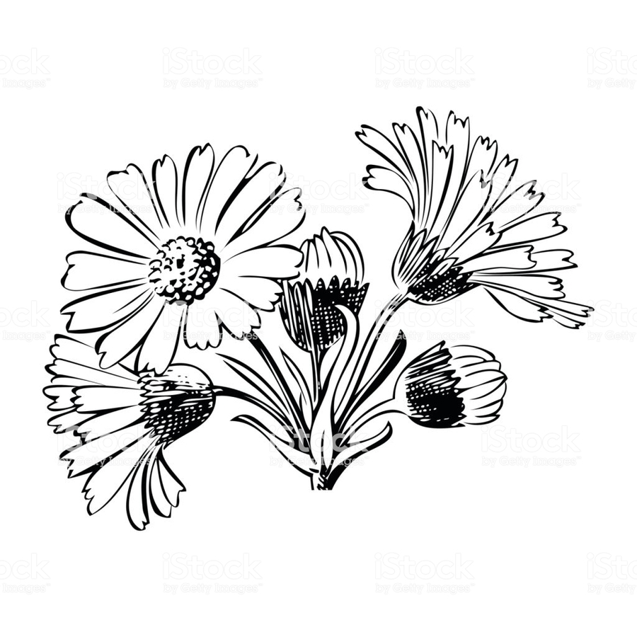 Drawn daisy clipart png royalty free library Download hand drawn daisies vector clipart Drawing Clip art ... png royalty free library