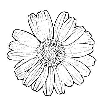 Drawn daisy clipart image freeuse library Black And White Daisy Drawing at PaintingValley.com | Explore ... image freeuse library