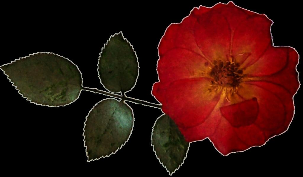 Dried flower clipart. Rose by jeanicebartzen on