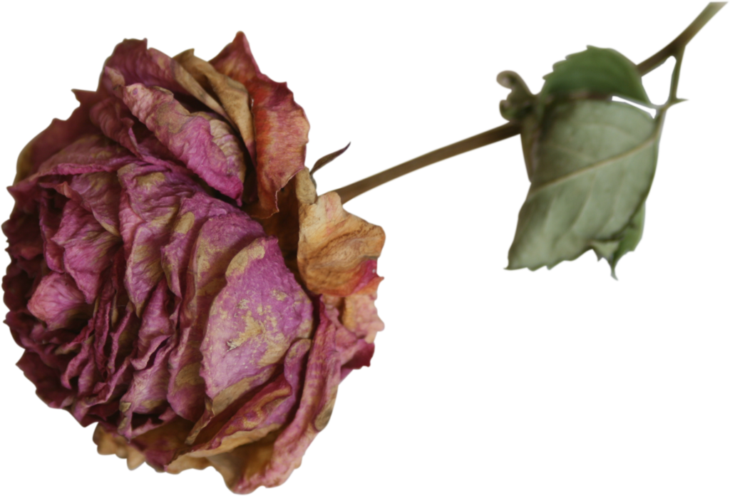 Dried flower clipart. Rose precut png by