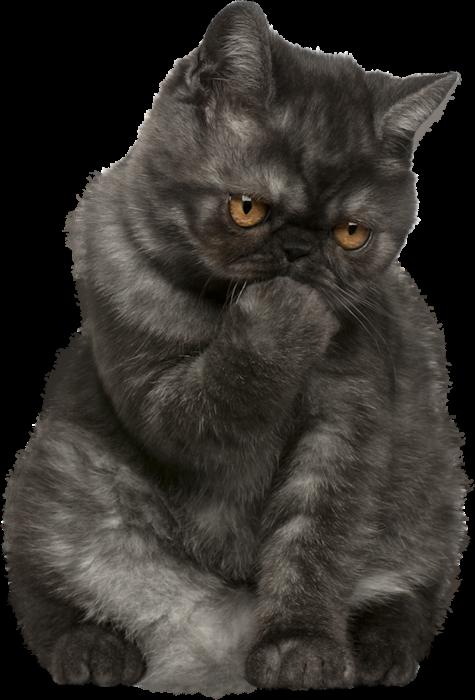 Persian cat clipart clip transparent Pin by Elizabeth Grobler on Cats & Others | Pinterest | Cat, Image ... clip transparent