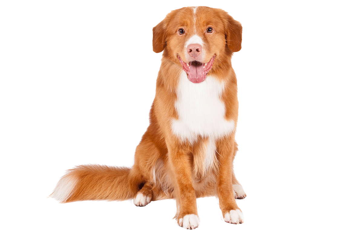 Duck dog clipart vector transparent Image result for toller clipart   4 TNOT WANDERER ARCHIVES MY W3 ... vector transparent