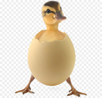 Duck egg clipart graphic royalty free stock Fried egg Chicken Egg white Clip art - eggs. clipart - Nohat graphic royalty free stock